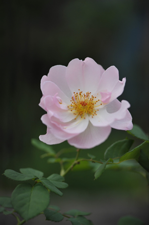rose20141003-7.jpg