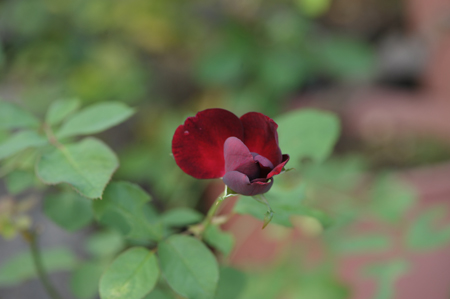 rose20141003-9.jpg