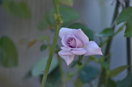rose20141009-10.jpg