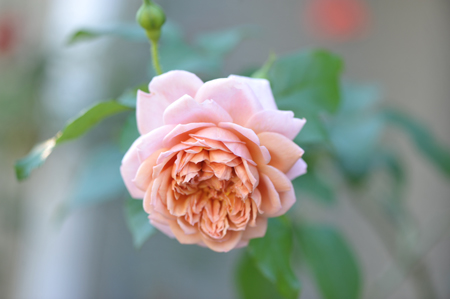rose20141009-3.jpg