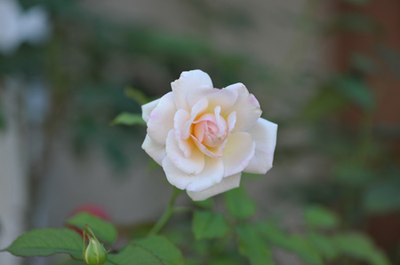 rose20141009-6.jpg