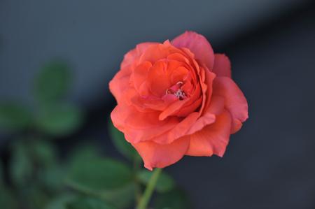 rose20141009-7.jpg