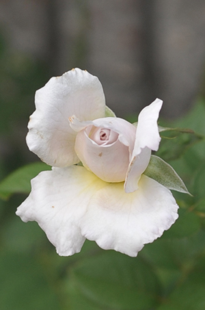 rose20141009a.jpg