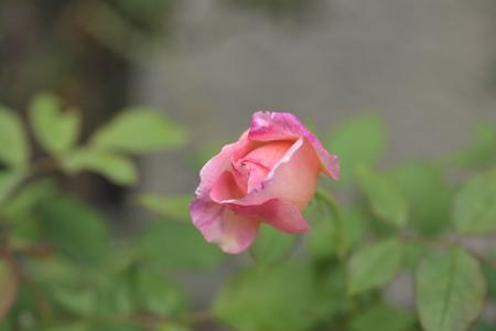 rose20141011-10.jpg