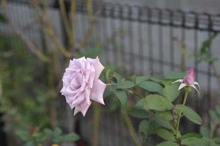 rose20141011-11.jpg