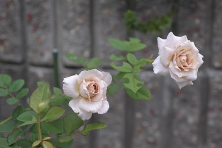 rose20141011-4.jpg