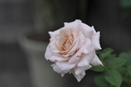 rose20141011-5.jpg