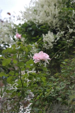 rose20141011-6.jpg