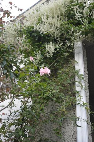 rose20141011-7.jpg
