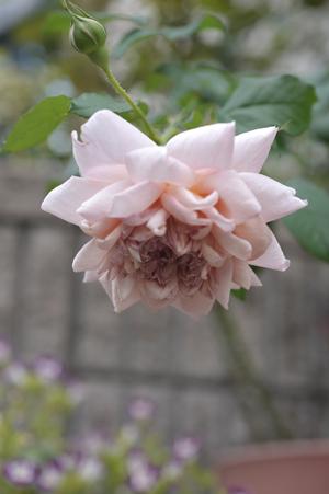 rose20141011-8.jpg