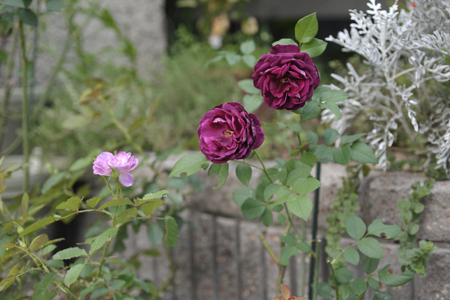 rose20141014-2.jpg