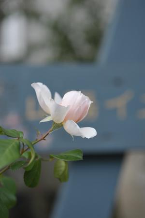 rose20141014-5.jpg