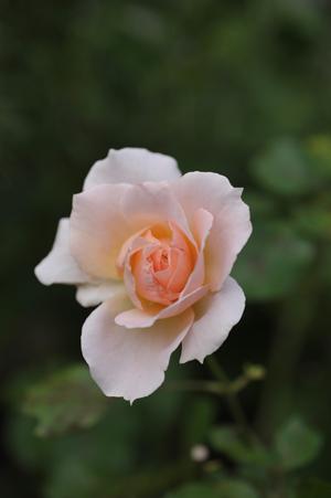 rose20141014-6.jpg