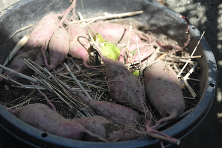 sweetpotato20141015-2.jpg
