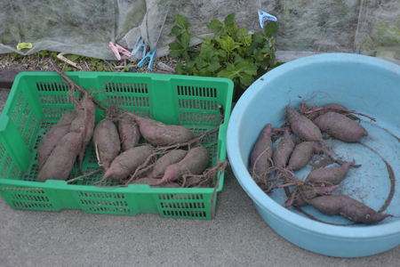 sweetpotato20141015-3.jpg