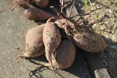 sweetpotato20141015-4.jpg