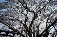 戸隠蕎麦2014春28