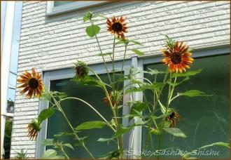 20140911 ひまわり 夏から秋へ
