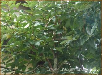 20140911 柿の実 夏から秋へ