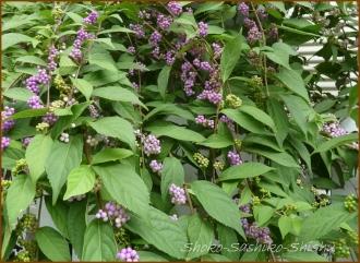 20140911 紫式部 夏から秋へ
