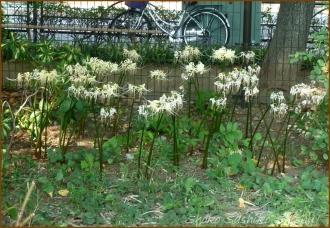 20140929 目白台公園 白1 曼珠沙華