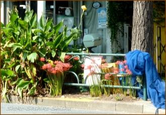 20140929 目白台通り 1 曼珠沙華