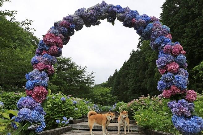 紫陽花と柴犬