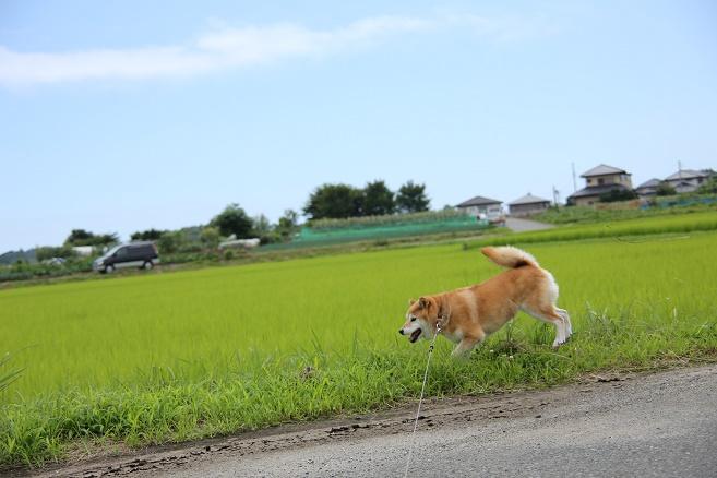 頑張るシニア犬