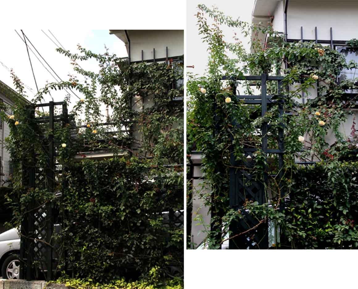 つるバラ 藪模様(1)