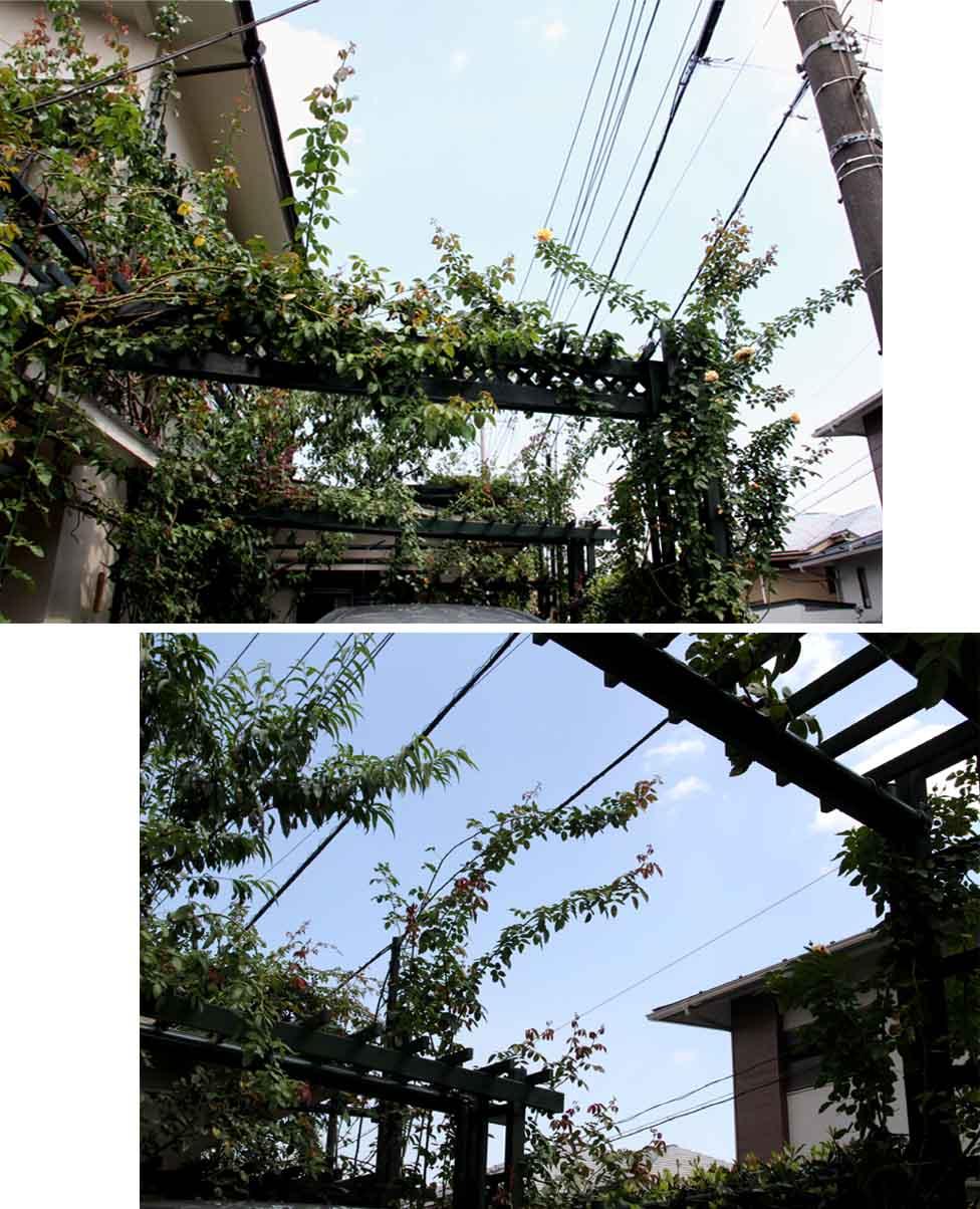 つるバラ 藪模様(2)