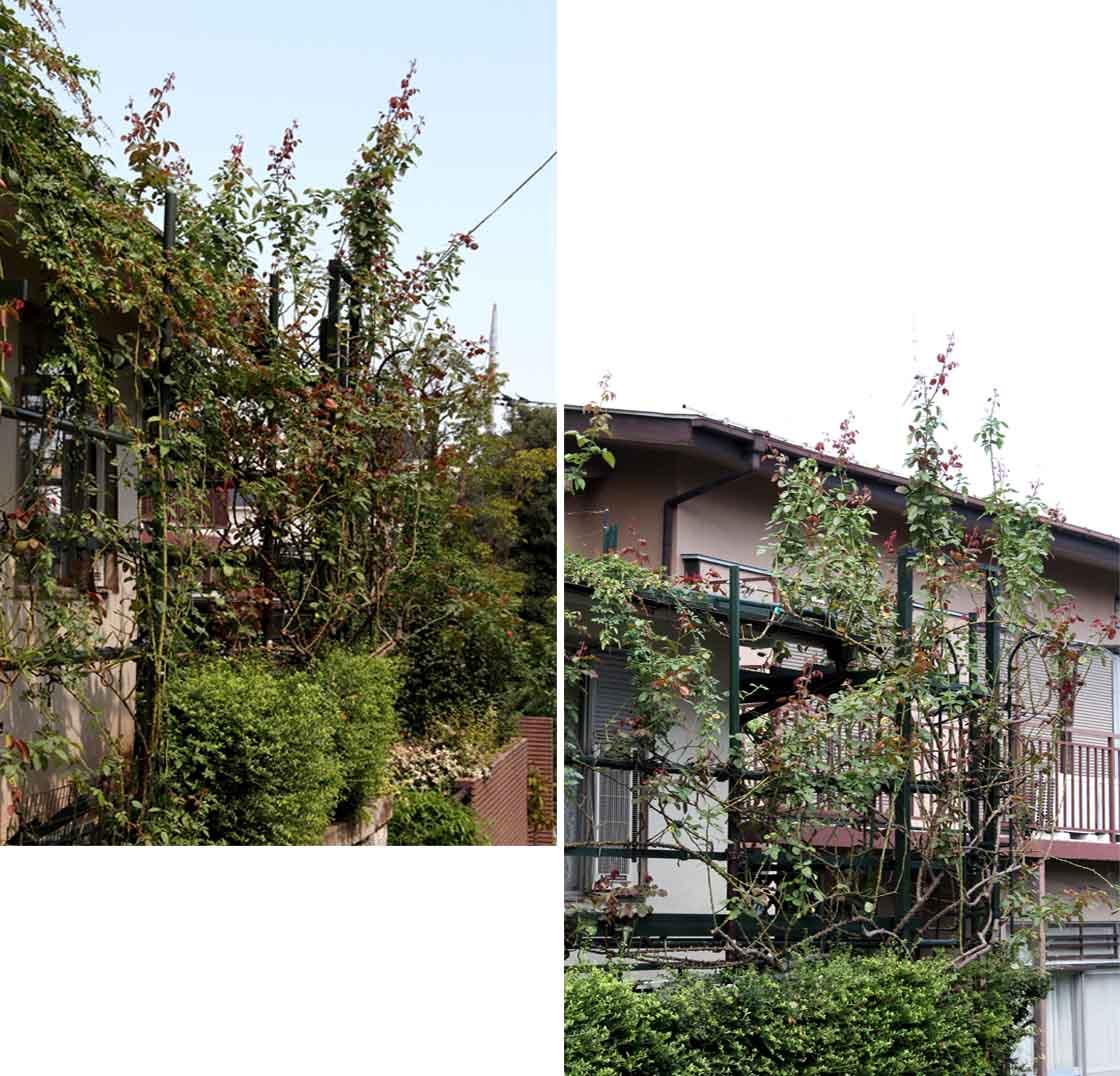 つるバラ 藪模様(3)