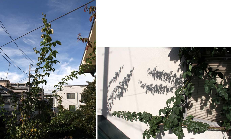 つるバラ 藪模様(5)
