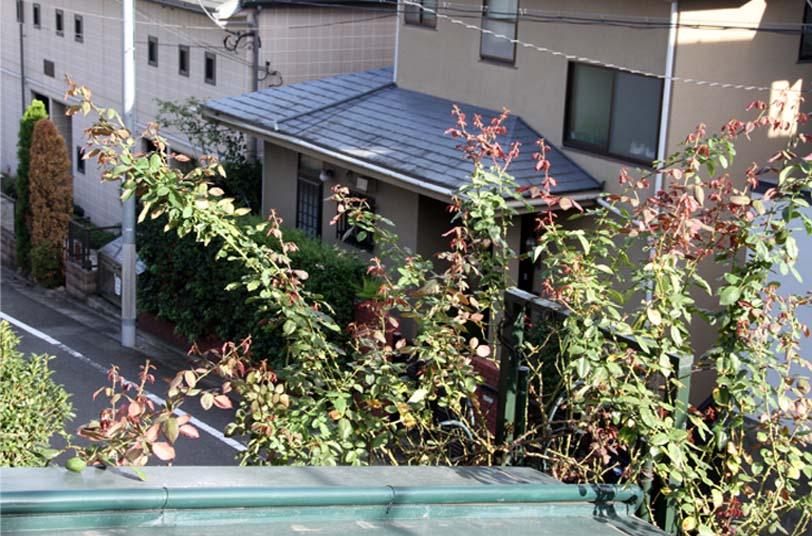 つるバラ 藪模様(7)