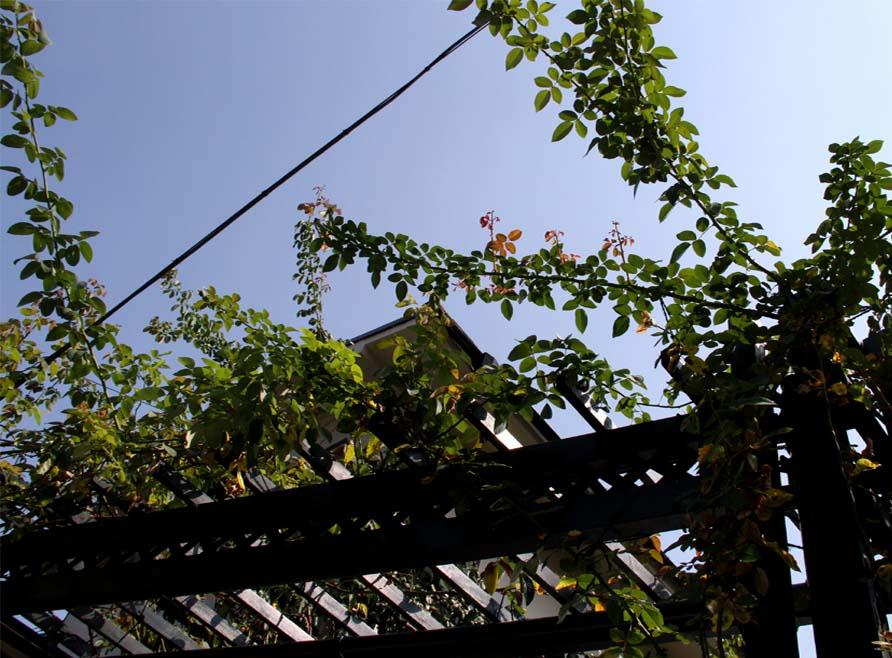 9月後半 つるバラ 藪模様(1)