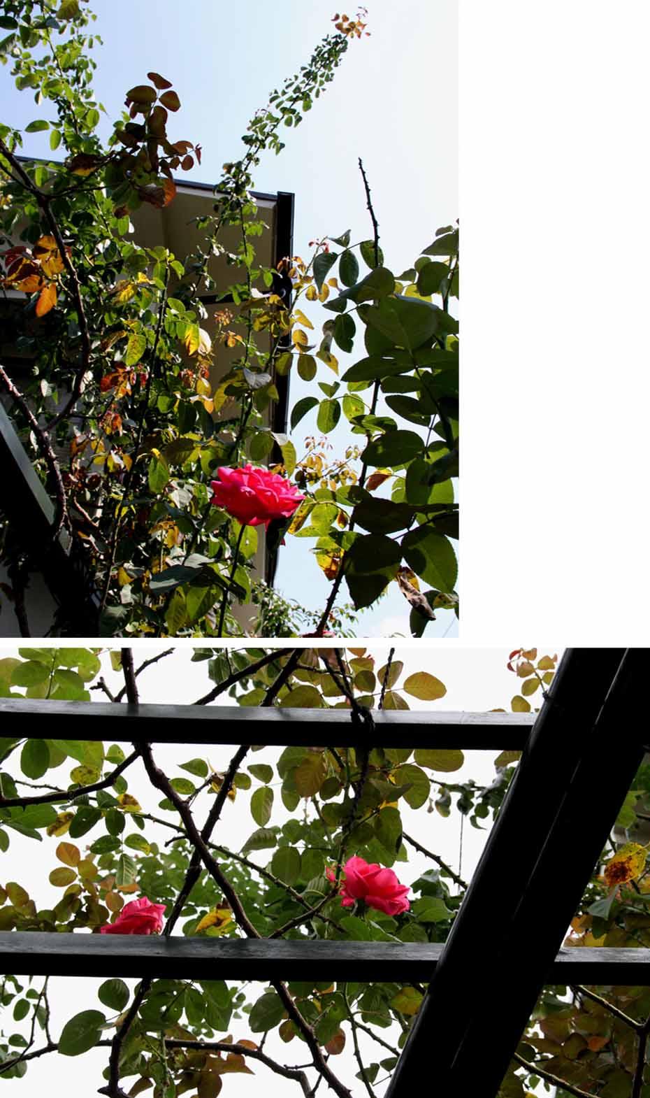 9月後半 つるバラ 藪模様(2)