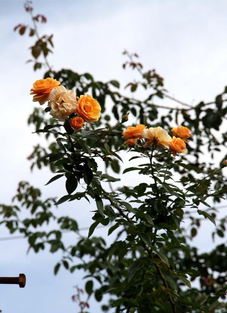 9月後半 つるバラ 藪模様(3)