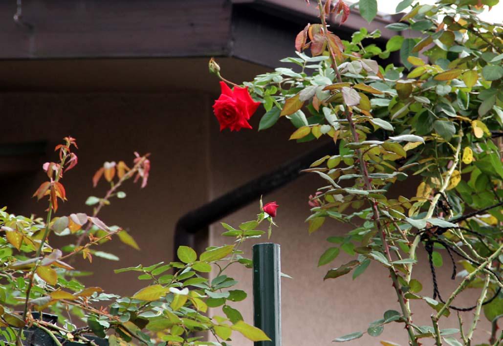 9月後半 つるバラ 藪模様(4)