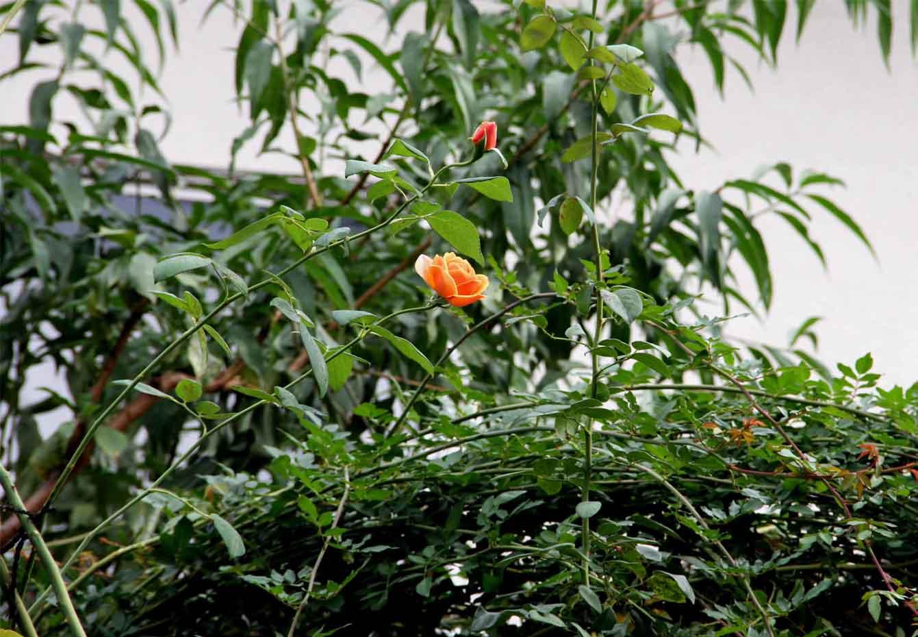 9月後半 つるバラ 藪模様(6)