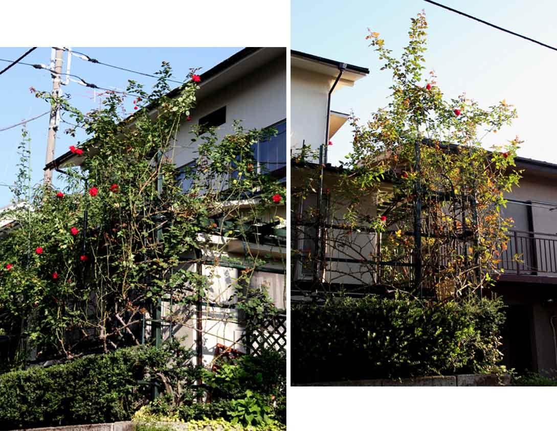 9月後半 つるバラ 藪模様(7)