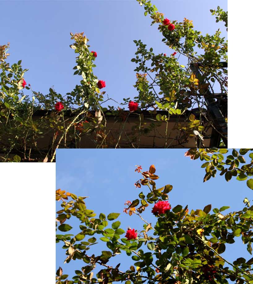 9月後半 つるバラ 藪模様(8)