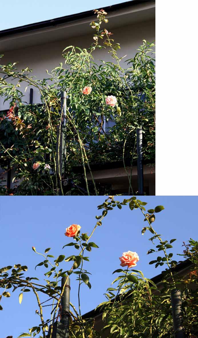 9月後半 つるバラ 藪模様(9)