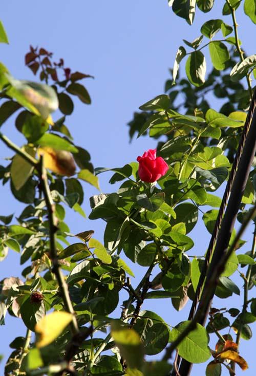 9月後半 つるバラ 藪模様(10)