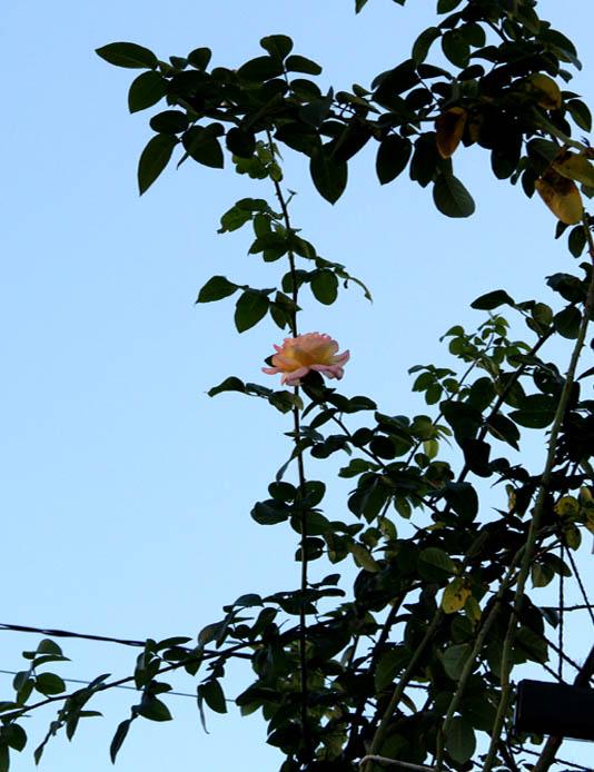 9月後半 つるバラ 藪模様(11)