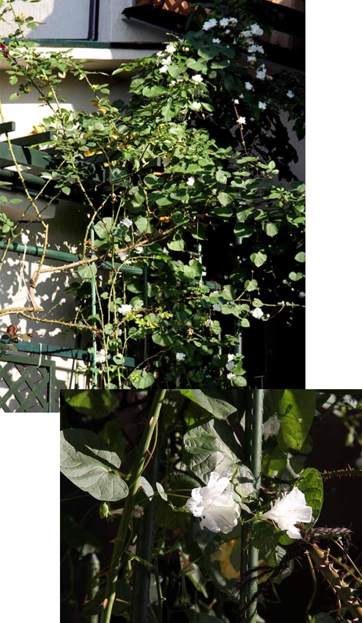 9月後半 つるバラ 藪模様(13) 白朝顔