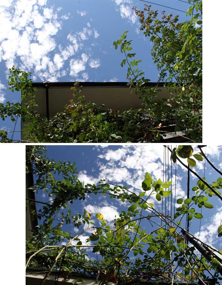 つるバラシュートと秋の空(1)
