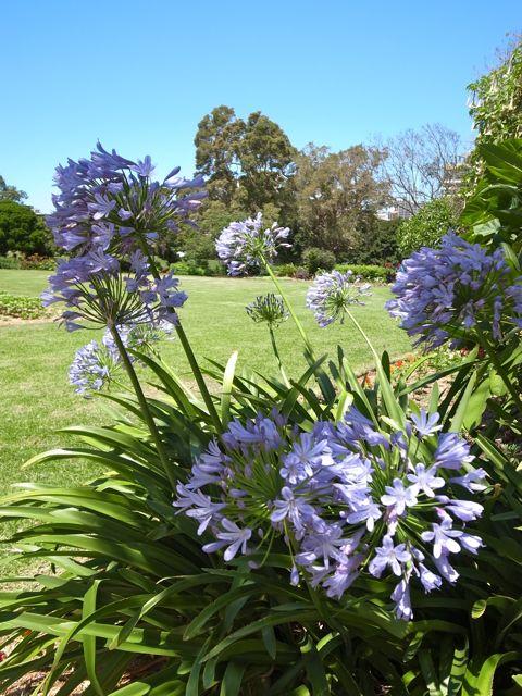 シドニーの花1