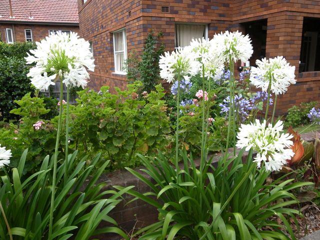 シドニーの花2