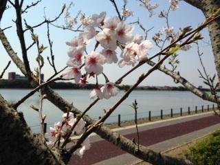 神之池公園 桜