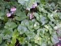 イワカガミの花-1