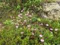イワカガミノ花-2